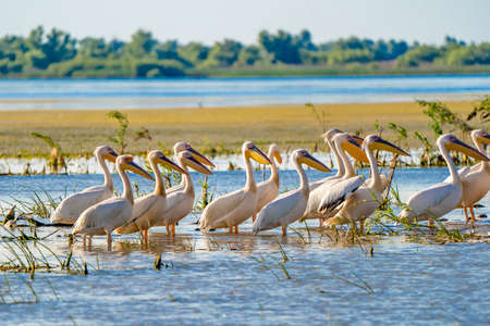 Great White Pelican colony sighted in the Danube Delta Reklamní fotografie