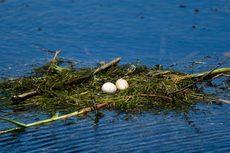 Bird nest and eggs on water in Danube Delta