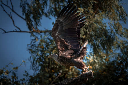 White tailed eagle (Haliaeetus albicilla), the biggest eagle in the Danube Delta