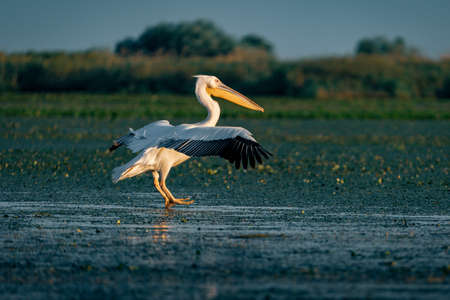 The Great White Pelican (Pelecanidae) flying in the Danube Delta, Romania