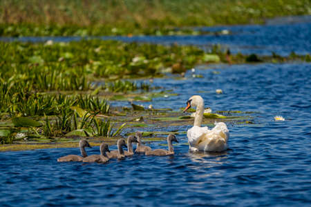 Swan and cygnets in Danube Delta Stock Photo - 103673281