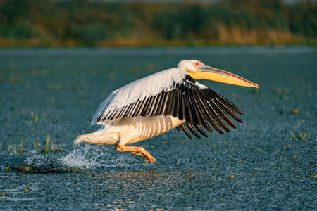 The Great White Pelican (Pelecanidae) take off splashing the water in the Danube Delta, Romania