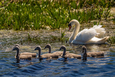 White Swan family and cygnets in Danube Delta 免版税图像