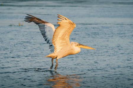 Dalmatian pelican (Pelecanus crispus) take off in Danube Delta at sunrise Фото со стока