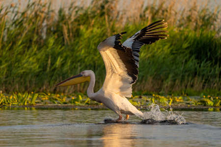 The Great White Pelican (Pelecanidae) a common sighting in the Danube Delta, Romania