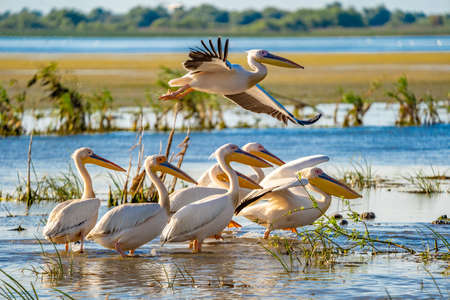 Birdwatching in Danube Delta. The Great White Pelican flying over a Pelican colony at Fortuna Lake Stock Photo