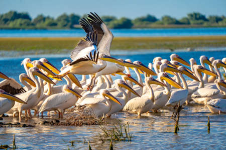 Pelicans in the Danube Delta, Romania. A common sight for the tourist visiting the Danube Delta for birdwatching
