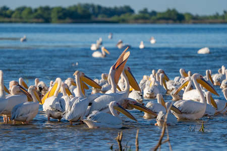 Birdwatching in the Danube Delta. A colony of Great White Pelicans (Pelecanidae) and Dalmatian Pelicans (Pelecanus crispus) in the Danube Delta, Romania