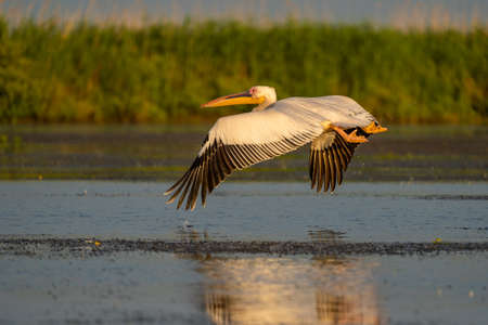 Pelican flying over the water, a common sighting in the Danube Delta