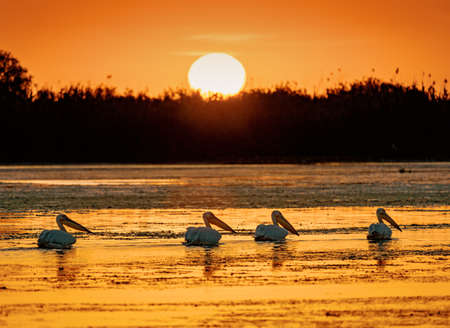 Sunrise in Danube Delta with Pelicans nearby Stock Photo