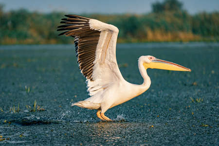 The Great White Pelican (Pelecanidae) take off with a splash of water in the Danube Delta, Romania Stock Photo