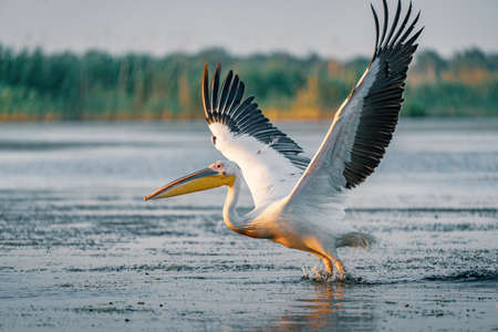 The Great White Pelican take off on a summer morning in the Danube Delta, Romania