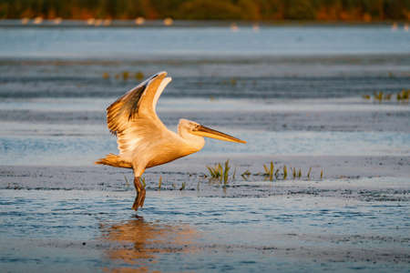 Pelican landing on a lake in Danube Delta, Romania