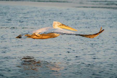 Dalmatian pelican (Pelecanus crispus) take off in Danube Delta at sunrise Banco de Imagens