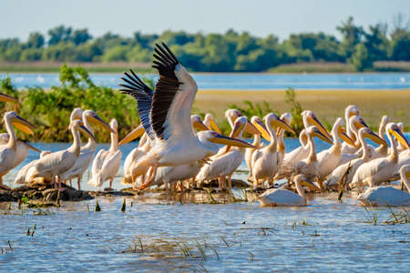 Great White Pelican colony sighted in the Danube Delta Stock Photo