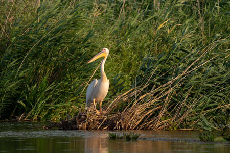 The Great White Pelican (Pelecanidae) in the Danube Delta, Romania