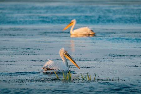 Pelicans in Danube Delta Romania at sunrise