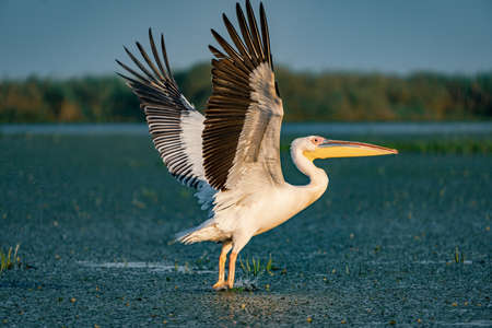 Birdwatching in the Danube Delta. The Great White Pelican (Pelecanidae) flying at sunset