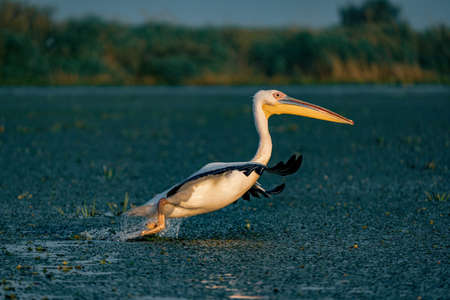 The Great White Pelican (Pelecanidae) take off with a splash of water in the Danube Delta, Romania Reklamní fotografie