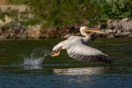 Pelican in the Danube Delta, Romania (Pelecanus) flying over water