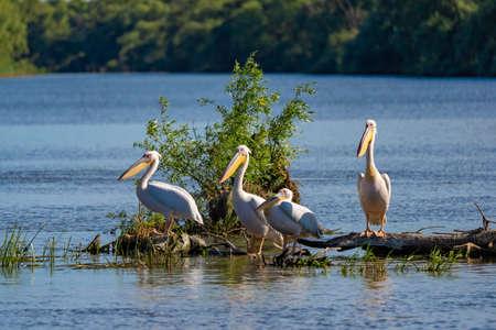 Pelican Colony on Fortuna Lake in the Danube Delta