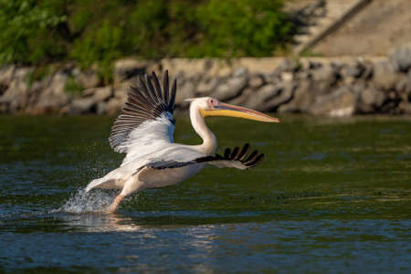 Danube Delta, Romania. The Great White Pelican flying over water