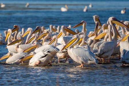 A colony of Great White Pelicans (Pelecanidae) and Dalmatian Pelicans (Pelecanus crispus) in the Danube Delta, Romania