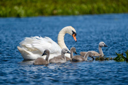 Danube Delta Mute Swan and Cygnets Stock Photo