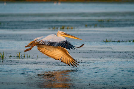 Pelican flying over a lake in the Danube Delta, Romania at sunset Banco de Imagens