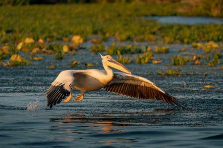 Great White Pelican at sunrise in the Danube Delta, Romania Фото со стока