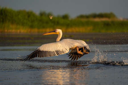 Pelican take off with a water splash, a common sighting in the Danube Delta