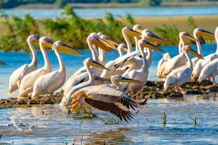 Birdwatching in Danube Delta. The Great White Pelican flying over a Pelican colony at Fortuna Lake Banco de Imagens