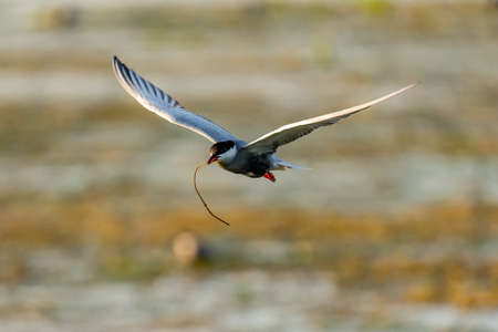 White-cheeked Tern in flight carrying a branch for a nest in Danube Delta, Romania