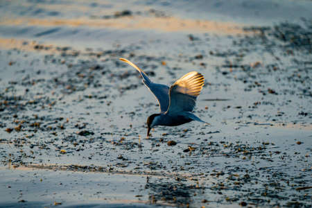 White-cheeked Tern fishing in Danube Delta, Romania. Tern in flight over water at sunrise