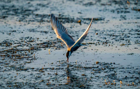 White-cheeked Tern fishing in Danube Delta, Romania. Tern in flight at sunrise