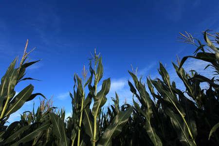Corn Field in Summer photo