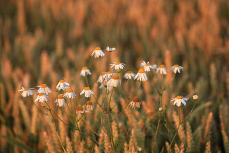 kamille: Chamomile Field Stock Photo