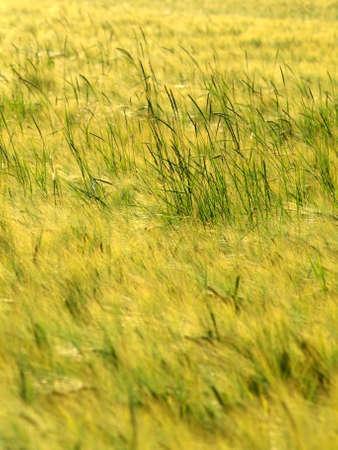 haver veld: Gerst en haver veld Stockfoto
