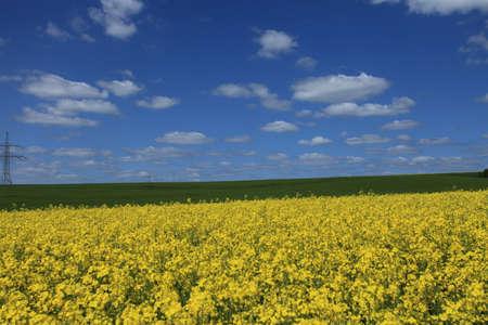 colza: Colza Field