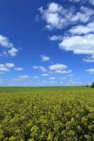 colza: Colza campo