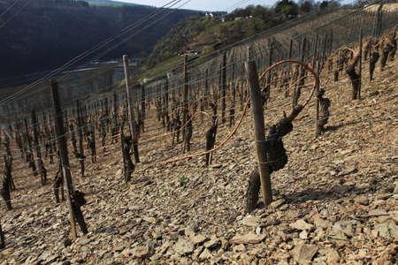 rheintal: Wine Stock Photo