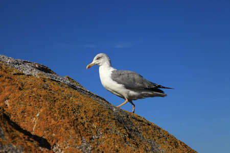 Seagull standing on the rock Standard-Bild