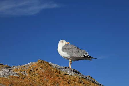 Seagull Standard-Bild