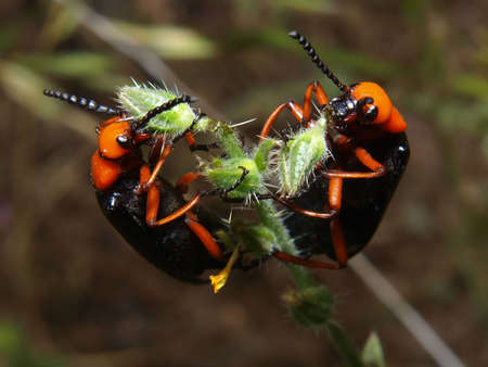 A pair of Arizona Blister beetles feasting on a spiny plant. Stock Photo - 6635144