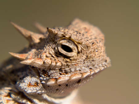 lizard: Un lagarto cornudo nativo de Arizona. Tambi�n conocido como un Sapo cornudo.  Foto de archivo