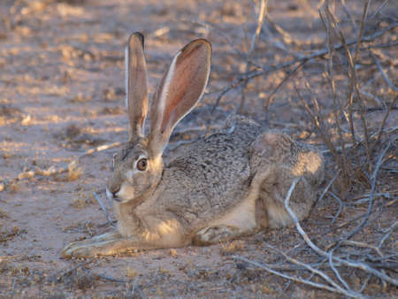 known: An Arizona Hare, also known as a Jackrabbit, resting near a bush.