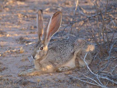 lepre: Un Arizona lepre, noto anche come un Jackrabbit, riposa vicino a un cespuglio.
