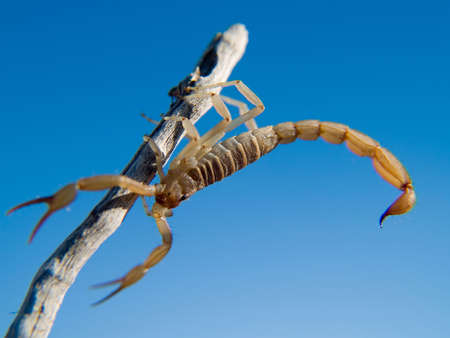 stinger: An Arizona Bark Scorpion climbing on a dead stick.