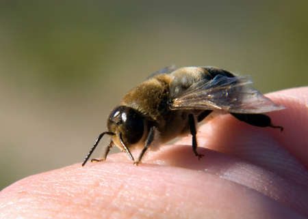 stinger: A male Honey Bee known as a Drone. He has no stinger and is helpless without his sisters to defend him. His only purpose is to mate with the Queen.
