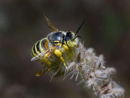 cactus species: Una especie de abeja de cactus nativo de Arizona descansando sobre una planta Espinosa.  Foto de archivo